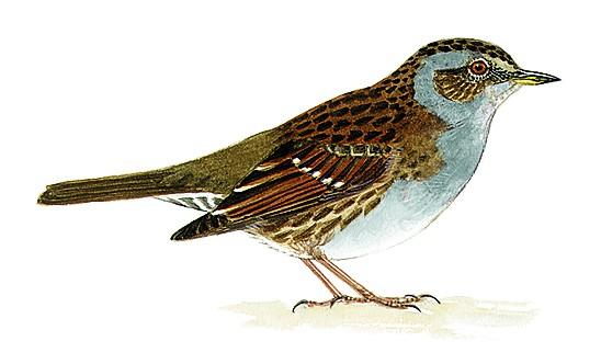 Accenteur mouchet oisillon for Photo oiseau