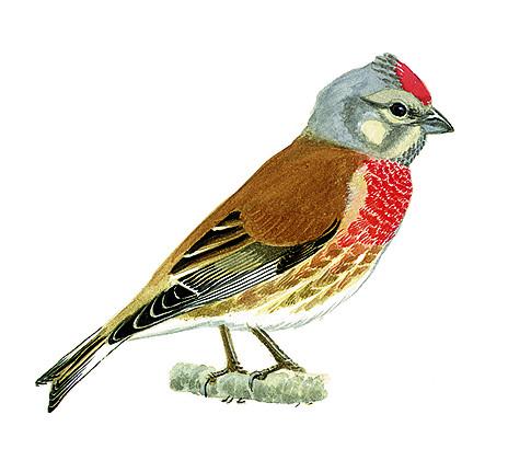 Linotte m lodieuse oisillon for Oiseaux de france
