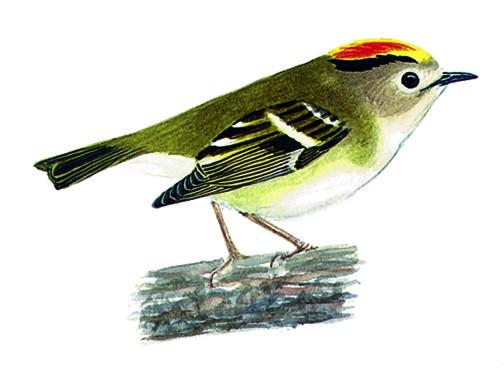 Roitelet for Petit oiseau avec houpette