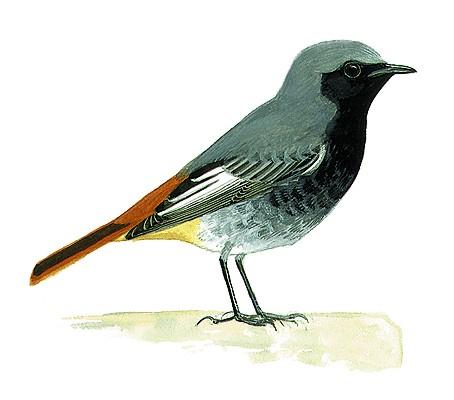 Rougequeue noir oisillon for Oiseau queue rouge