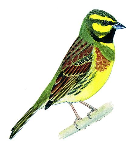 Bruant zizi oisillon for Oiseau vert et rouge