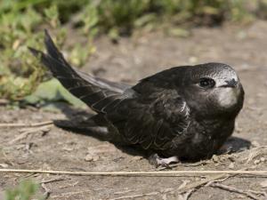 Martinet noir oisillon - Comment nourrir un oisillon ...