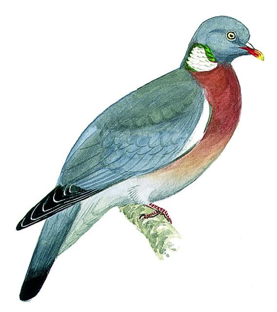 Pigeon Ramier Oisillon