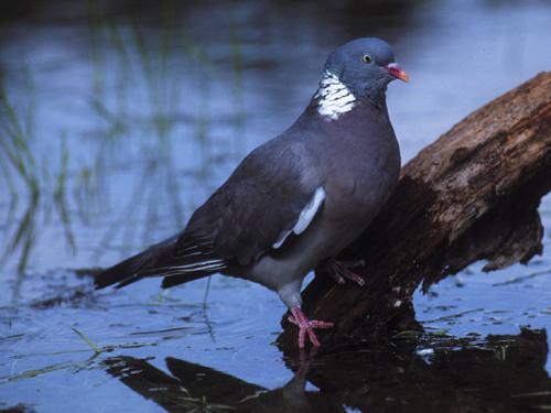 pigeon ramier chant gratuit
