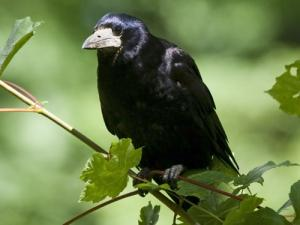 Picture of Corbeau freux